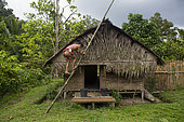 Man using a large bamboo as a ladder to climb the roof of his house, Pulau Siberut, Sumatra, Indonesia