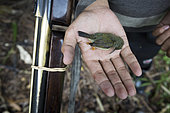 Bird killed with a shotgun before being eaten, Pulau Siberut, Sumatra, Indonesia