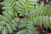 Galanga or Chinese ginger (Alpinia officinarum) used to treat stomach problems, Pulau Siberut, Sumatra, Indonesia