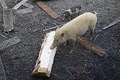 Pigs eating sago, extracted from unprocessed sago palm tree, Pulau Siberut, Sumatra, Indonesia