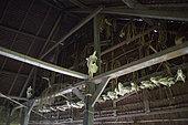 Skulls of farm animals killed by the owner of the house in a Uma, Pulau Siberut, Sumatra, Indonesia
