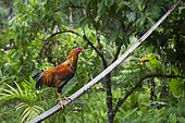 Rooster perched on a bamboo, Pulau Siberut, Sumatra, Indonesia