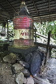 Two barrels of gasoline used to carry out the distillation process, Pulau Siberut, Sumatra, Indonesia
