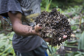 Patchouli oil producer showing the residue of patchouli leaves after distillation, Pulau Siberut, Sumatra, Indonesia