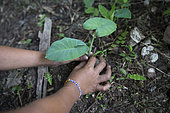 Young boy planting a young plant of Taro in a garden, Pulau Siberut, Sumatra, Indonesia
