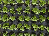"""""""Les jardins de Théia"""" Culture BIO Plants de Celeri branche dans le Jura."""