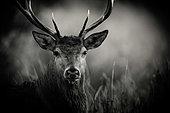 Portrait of Red deer (Cervus elaphus), Belgium