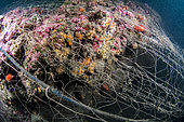 Coralligenous reef trapped in an abandoned fishing net - ghost net - Protected marine area of the Agathois coast, France, Mediterranean Sea
