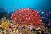 Colored Coral Reef, Marovo Lagoon, Solomon Islands
