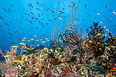 Lionfish over Coral Reef, Pterois miles, South Male Atoll, Maldives