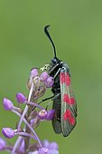 Six-spot Burnet (Zygaena filipendulae) with orchid pollinies stuck on its trunk, France