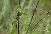 Cordulie à taches jaunes (Somatochlora flavomaculata), France
