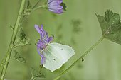 Brimstone (Gonepteryx rhamni) on flower, France