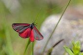 Cinnabar moth (Tyria jacobaeae), France