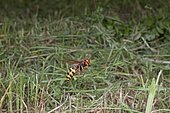 European Hornet (Vespa crabro) flying over a meadow, France