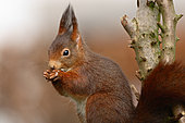 Red squirrel (Sciurus vulgaris) eating, Ardenne, Belgium