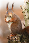 Ecureuil roux (Sciurus vulgaris) mangeant, Ardenne, Belgique