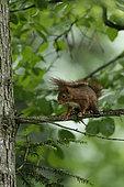 Ecureuil roux (Sciurus vulgaris) sur une branche, Ardenne, Belgique