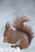 Ecureuil roux (Sciurus vulgaris) mangeant dans la neige, Ardenne, Belgique