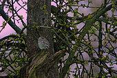 Little Owl (Athene noctua) in an old apple tree, Ardennes, Belgium
