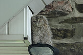 Tawny Owl (Strix aluco) young on outdoor lighting, Ardenne, Belgium