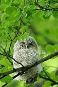 Tawny Owl (Strix aluco) young on a banche, Ardenne, Belgium