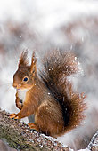 Red squirrel (Sciurus vulgaris) in snow, Ardenne, Belgium