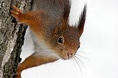 Ecureuil roux (Sciurus vulgaris) tête en bas sur un tronc, Ardenne, Belgique