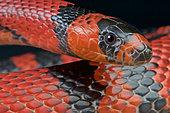 Honduran milk snake (Lampropeltis triangulum hondurensis), Honduras