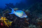 Redbarred Parrotfish (Scarus caudofasciatus) above the reef, Indian Ocean, Mayotte
