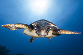 Hawksbill sea turtle (Eretmochelys imbricata) swimming, Indian Ocean, Mayotte