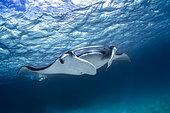 Reef manta ray (Manta alfredi) under the surface, Indian Ocean, Mayotte