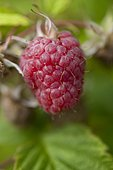 Raspberry 'Mailing Promise'