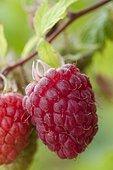 Raspberry 'September'