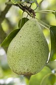 Pear 'Comtesse de Paris' in an orchard