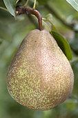 Pear 'Peradel® delbuena' in an orchard
