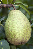Pear 'Président Mas' in an orchard