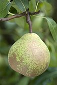 Pear 'Madame Ballet' in an orchard