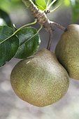 Pear 'Messire Jean' in an orchard