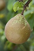 Pear 'Notaire Lepin' in an orchard
