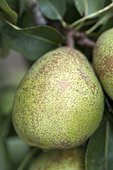 Pear 'Remi Chatenay' in an orchard
