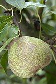 Pear 'Olivier de Serre' in an orchard
