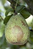 Pear 'Doyenné d'Alençon' in an orchard