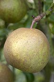 Pear 'Delmoip' in an orchard