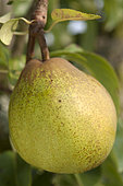 Pear 'Passe Crassane' in an orchard