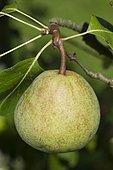 Pear 'Souvenir de Jules Guindon' in an orchard