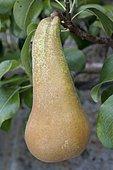 Pear 'Van Marum' in an orchard