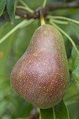 Pear 'Harrow Sweet' in an orchard