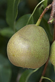 Pear 'Beurré Dumortier' in an orchard