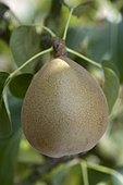 Pear 'Angelys' in an orchard